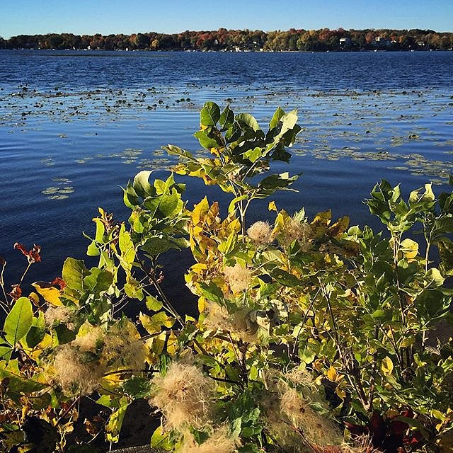 Evening walk to clear my head before teaching an online course for @cdsduke. This plant is probably considered a weed, but the sublime autumn light is treating it all the same. #lakeminnetonka #evening #minnesota #midwest #walk #light #autumn #thisisnotny