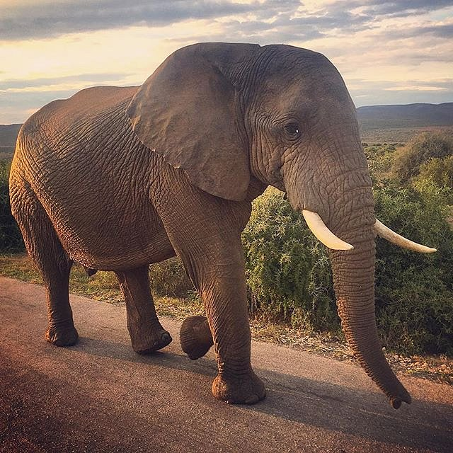 I could get used to commutes like this (II). #elephant #addo #southafrica #africa #family #peace