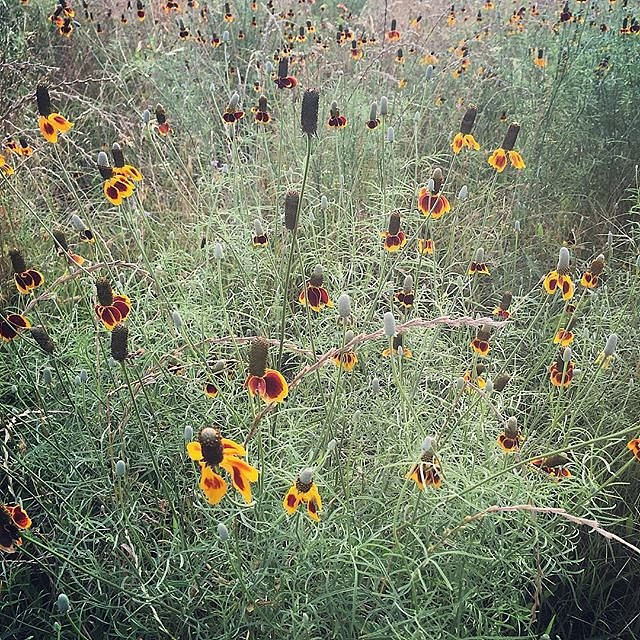 #texas #bosquecounty #clifton #wildflowers #lookingforcowboys