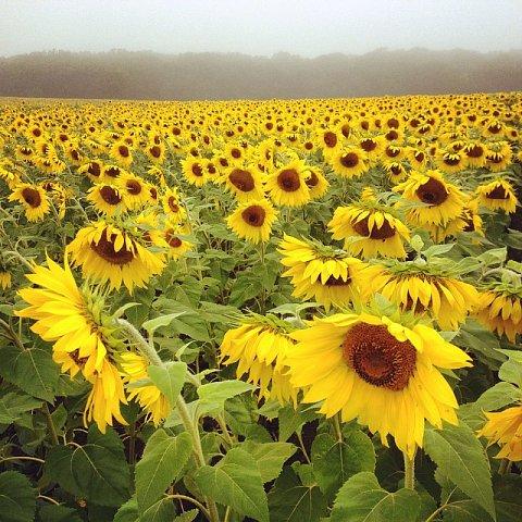 #minnesota #onthelake #sunflowers #peace #family #stearnscounty