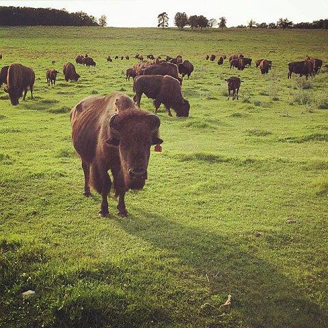 #ontheroad #family #midwest #summer #minnesota #usa #bison #buffalo