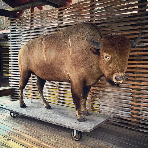 Before European settlers arrived on the continent, buffalo roamed what is now Western North Carolina by the thousands. The last wild buffalo was reportedly killed near Asheville around 1780. Every time I visit Cherokee I marvel at the symbolism of this stuffed buffalo on wheels, used as the backdrop for Cherokee performances designed for tourists. #cherokee #northcarolina #buffalo #tourism #personalwork
