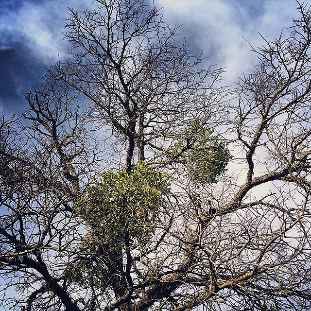 Ever wonder what mistletoe looks like growing in the wild? Here you go. A parasitic plant, it attaches itself to a host tree, in this case an Elm Tree. #mistletoe #kissme #texas #valleymills #usa #holidays #plants