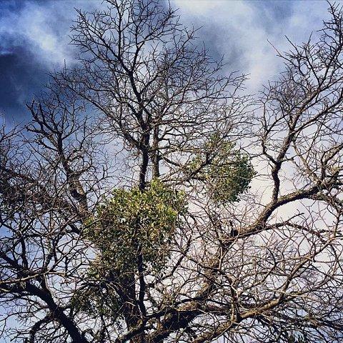 #mistletoe #kissme #texas #valleymills #usa #holidays #plants