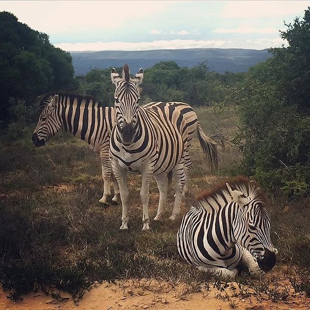I could get used to commutes like this. #zebra #addo #southafrica #africa #family #peace