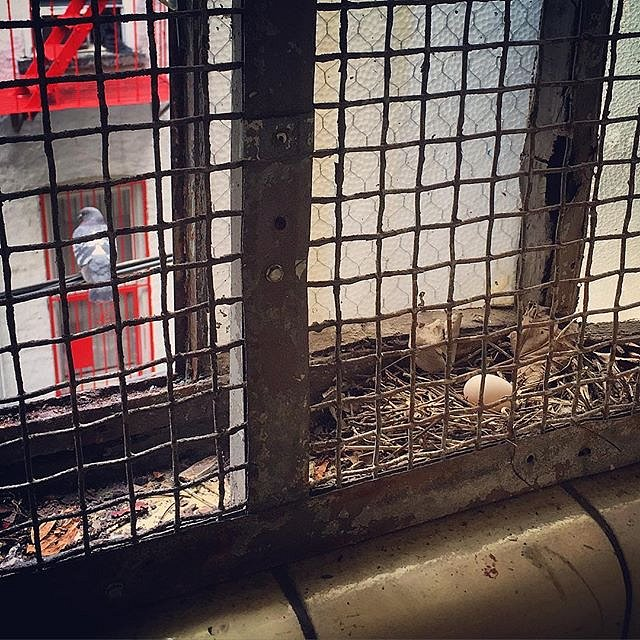 I spied this soon-to-be-mama pigeon and her cleverly placed nest in the subway station on the way home from Coney Island. #pigeon #egg #nest #momlife #mta #brooklyn