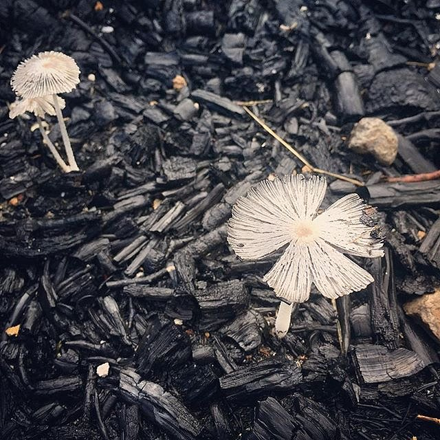 Mushrooms growing out of charcoal are surprisingly beautiful. #charcoal #mushrooms #texas #valleymills #usa #lookingforcowboys