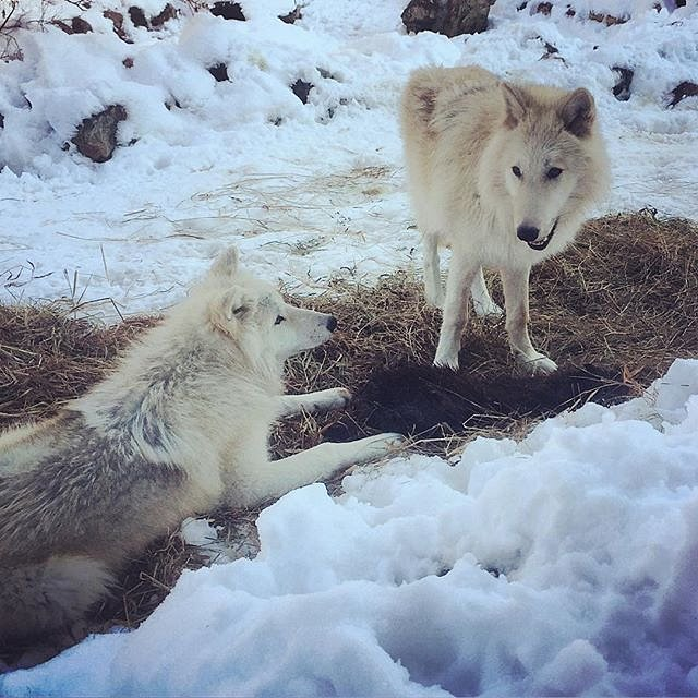 Wolf pup brothers Grayson and Axel share a beaver for lunch.