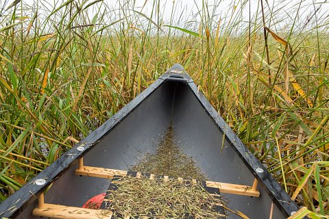 "Wild rice cultivation, or ""ricing"" on Rice Lake in northern Minnesota. <br>September 2017."