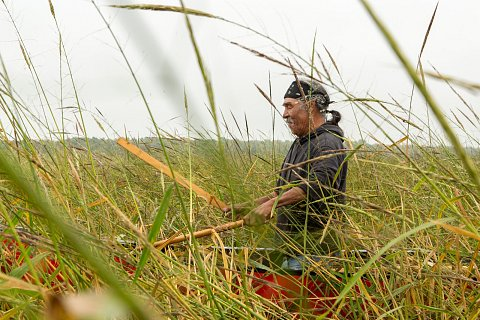 Darrell Geshick, an Ojibwe and member of Red Lake Nation in northern Minnesota, uses sticks called knockers to knock wild rice from the plant into the canoe. <br>September 2017.