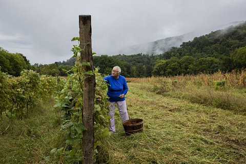 """Amy Walker, 78, picks heirloom beans from her garden at Kituwah, also known  as the """"Cherokee Mother Town."""" In keeping with a cultural tradition, Walker wears her hair short to express her grief after losing her youngest daughter to cancer.<br>September 2020."""