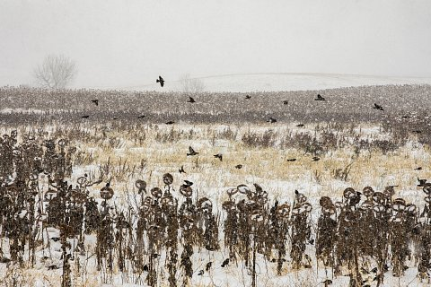 Birds fly through a sunflower field on the Cheyenne River Reservation. October 24, 2020.